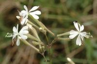 Silene italica subsp. italica