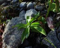 Dianthus barbatus subsp. barbatus