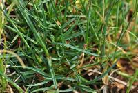 Dianthus pungens subsp. hispanicus