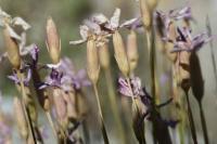 Dianthus pungens subsp. brachyanthus