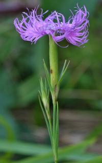 Dianthus hyssopifolius subsp. hyssopifolius