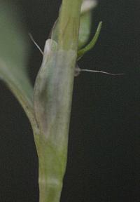 Persicaria hydropiper
