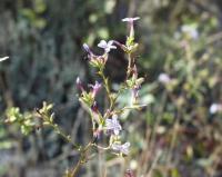 Plumbago europaea