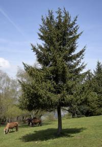 Piccea abies subsp. abies