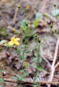 Hypericum linariifolium