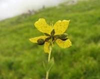 Hypericum richeri subsp. burseri