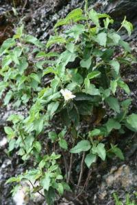 Cistus populifolius subsp. populifolius