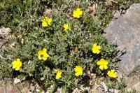 Halimium lasianthum subsp. alyssoides