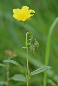 Helianthemum nummularium subsp. nummularium