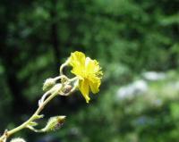 Helianthemum oelandicum subsp italicum