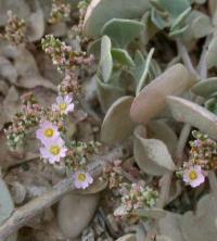 Frankenia pulverulenta subsp. pulverulenta