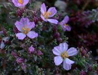 Frankenia laevis subsp. laevis