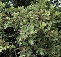 Salix aurita