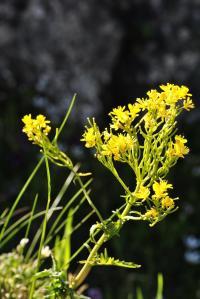 Sisymbrium austriacum subsp. chryanthum