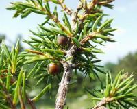 Juniperus communis subsp alpina
