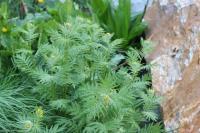 Hugueninia tanacetifolia subsp. suffruticosa