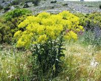 Isatis tinctoria subsp. tinctoria