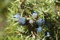 Juniperus communis subsp. communis