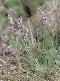 Matthiola fruticulosa subsp. fruticulosa