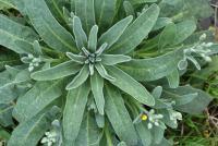 matthiola incana subsp. incana