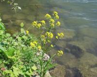 Rorippa amphibia