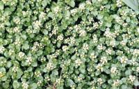 Nasturtium microphyllum