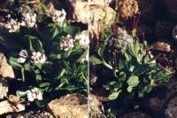 Cardamine bellidifolia subsp. alpina