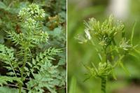 Cardamine impatiens subsp. impatiens