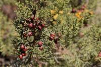 Juniperus phoenicea subsp. phoenicea