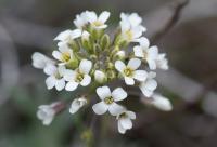 Alyssum lapeyrousianum