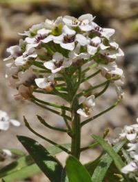 Lobularia maritima subsp. maritima