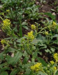Neslia apiculata