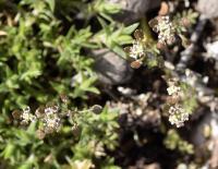 Hornungia patraea subsp. patraea