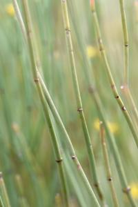 Ephedra fragilis subsp fragilis