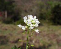 Thlaspi stenopterum