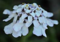 Iberis amara subsp. amara