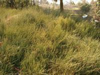 Ephedra distachya subsp distachya