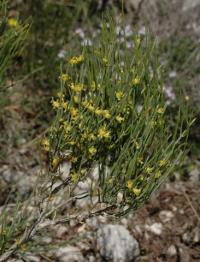 Ephedra nebrodensis subsp nebrodensis