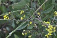 Rapistrum subsp. rugosum