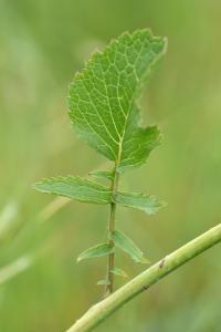 Raphanus raphanistrum subsp. landra