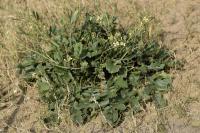 Raphanus raphanistrum subsp raphanistrum