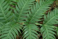 Woodwardia radicans