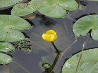Nuphar luteum subsp luteum