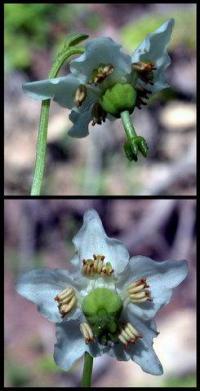 Moneses uniflora