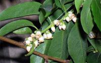 Diospyros lotus