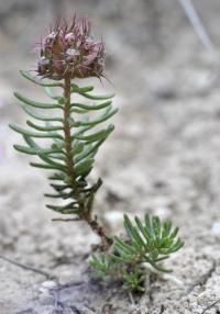 Coris monspeliensis subsp. monspeliensis