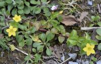 Lysimachia nemorum