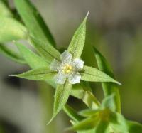 Asterolinon linum-stellatum
