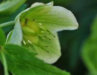 Helleborus viridis subsp. occidentalis