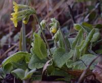 Primula veris subsp. columnae